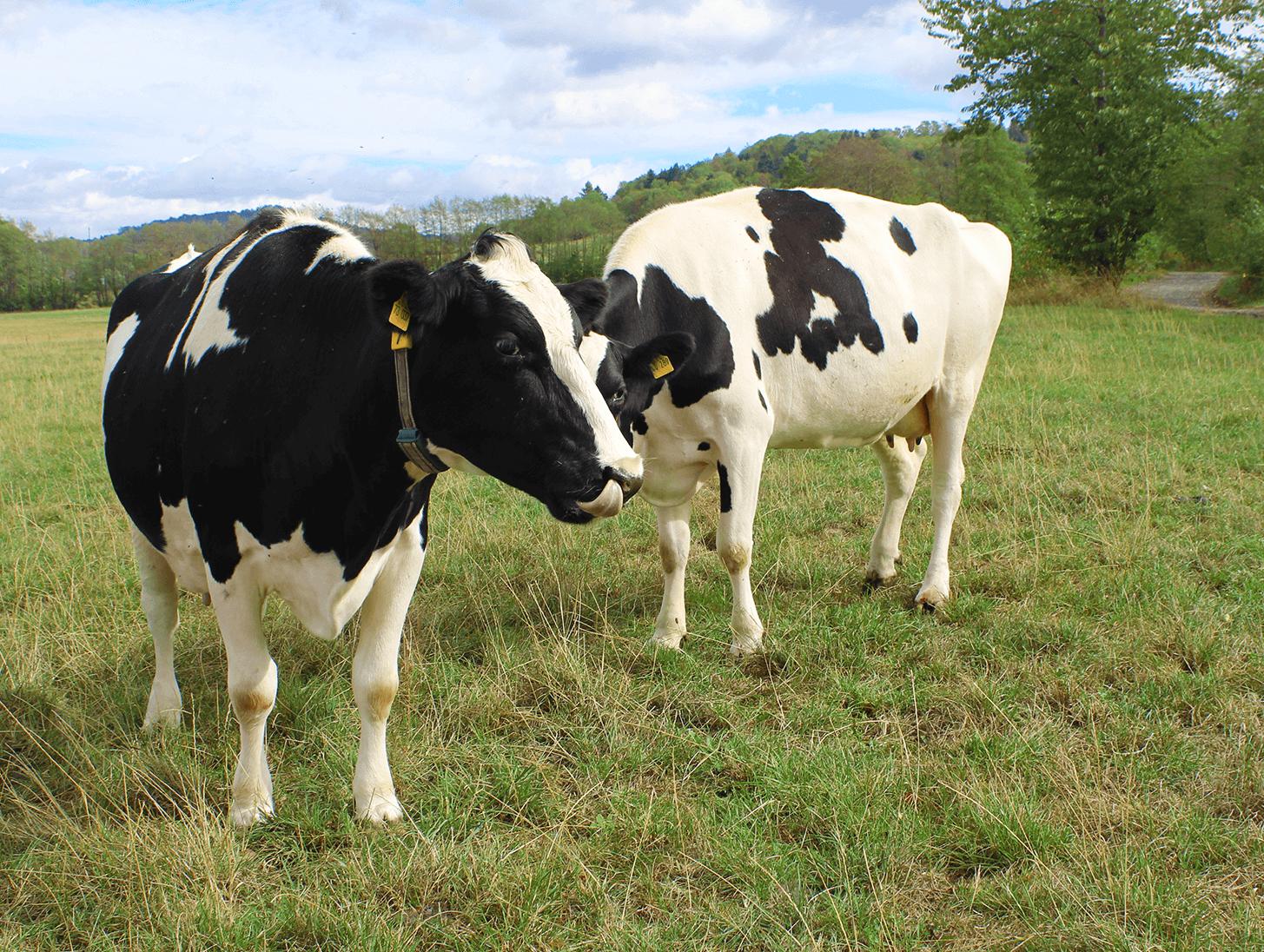 Milchkühe auf der grünen Weide